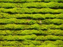 Cintos verdes Fotografia de Stock