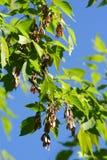 Cinza-árvore Fotos de Stock