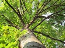 Cinza-árvore Imagens de Stock Royalty Free
