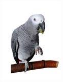 Cinza africano do papagaio Fotografia de Stock