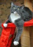 Cinza bonito com um gato branco da caixa fotos de stock royalty free