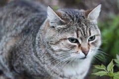 Cinza com o gato das tiras que senta-se na grama Imagem de Stock