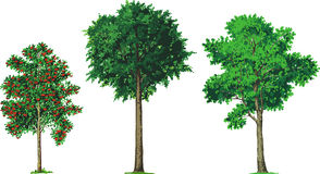 Cinza de montanha, faia e árvores de cinza. Vetor Fotografia de Stock