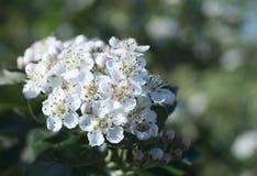 Cinza de montanha que floresce em um jardim Foto de Stock