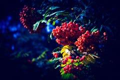 Cinza de montanha vermelha em uma noite fria no parque Fotografia de Stock
