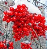 Cinza de montanha vermelha na neve branca A primeira geada do outono vermelha e branca Ramo gelado de Rowan closeup outono, outub imagem de stock