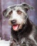 Cinza desalinhado feliz do cão do híbrido do close up Imagens de Stock