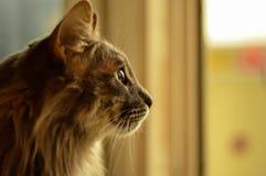 Cinza do gato com cabelo longo Fotografia de Stock Royalty Free