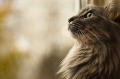 Cinza do gato com cabelo longo Imagens de Stock