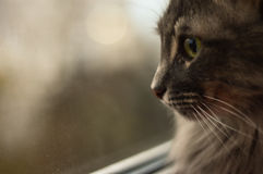 Cinza do gato com cabelo longo Fotos de Stock Royalty Free
