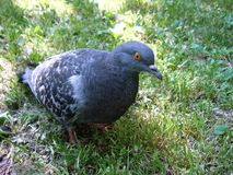 Cinza do pombo no parque imagem de stock royalty free