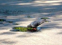 Cinza do pombo no parque imagens de stock
