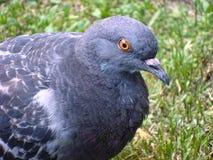 Cinza do pombo no parque imagem de stock