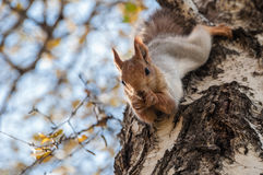 Cinza do vidoeiro do retrato do esquilo Imagens de Stock