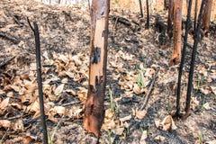 Cinza e árvore queimada após o fogo Imagem de Stock