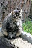 Cinza, Fuffy Tabby Cat foto de stock