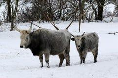 Cinza húngaro no tempo de inverno Imagens de Stock