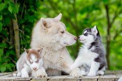 Cinza ronco Homem adulto com os dois cachorrinhos novos Grande li de cheiro fotos de stock royalty free