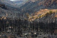 Cinzas pretas do pinho amarelo após o incêndio florestal em Teide Foto de Stock