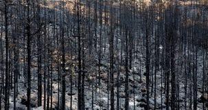 Cinzas pretas do pinho amarelo após o incêndio florestal em Teide Foto de Stock Royalty Free