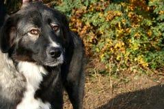 Ciobanesc carpatin dog Stock Image