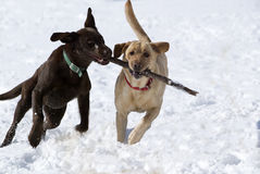 Cioccolato e giallo labrador retriever Fotografia Stock Libera da Diritti