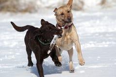 Cioccolato e giallo labrador retriever Immagine Stock Libera da Diritti
