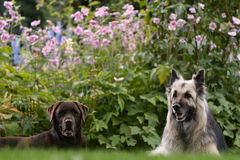 Cioccolato labrador e cani da pastore tedeschi Fotografia Stock