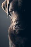 Cioccolato triste Labrador Fotografia Stock