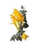 Ciondolare spara al collettore Columnea, varietà della pianta di carnevale Fotografia Stock
