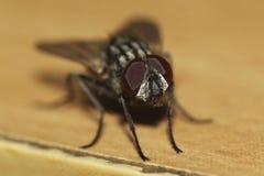 Cios komarnica Fotografia Royalty Free