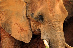 Cioseup of an African Elephant Stock Images