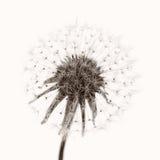 ciosu balowy dandelion zdjęcia stock
