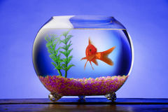 Ciotola del Goldfish Fotografia Stock