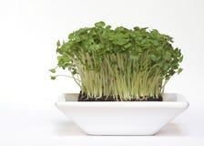 Ciotola di crescione fresco dell'insalata Immagini Stock Libere da Diritti