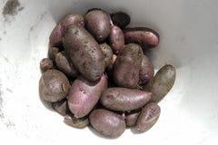Ciotola di patate porpora con sporcizia ancora sopra Immagine Stock