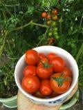 Ciotola di pomodori ciliegia maturi di recente selezionati in giardino in Europa Fotografia Stock Libera da Diritti