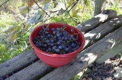 Ciotola di uva appena raccolta Fotografia Stock Libera da Diritti