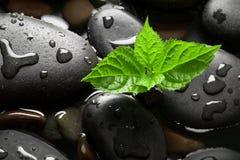 Ciottoli bagnati neri con il germoglio verde Immagini Stock