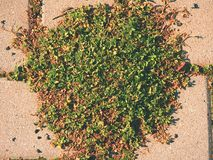 Ciottolo che pavimenta sentiero per pedoni con un mazzo di erba, ciottoli concreti Struttura di vecchio percorso di pietra Fotografie Stock Libere da Diritti