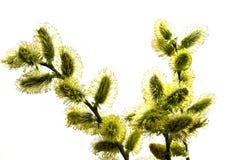 cipki gałęziasta willow Zdjęcia Stock