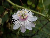 Ciplukan Java Flowers Indonesia fotografie stock libere da diritti