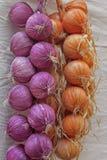 Cipolla, allium cepa Fotografia Stock Libera da Diritti
