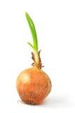 Cipolla (allium cepa) Fotografie Stock Libere da Diritti
