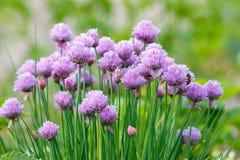 Cipolla commestibile di fioritura decorativa in giardino Schoenop dell'allium Immagine Stock Libera da Diritti
