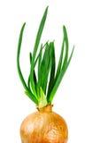 Cipolla con i germogli verdi freschi Fotografie Stock