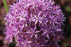 Cipolla decorativa del bello fiore porpora dell'allium nel giardino Fotografie Stock