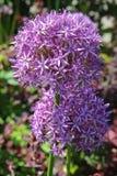 Cipolla decorativa del bello fiore porpora dell'allium nel giardino Fotografie Stock Libere da Diritti