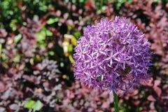Cipolla decorativa del bello fiore porpora dell'allium nel giardino Fotografia Stock Libera da Diritti