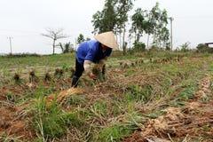 Cipolla del raccolto dell'agricoltore nel campo Fotografia Stock Libera da Diritti